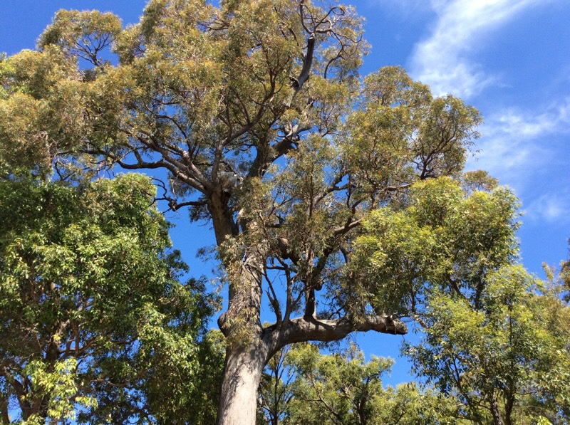 Majestic 130 year old Jarrah tree