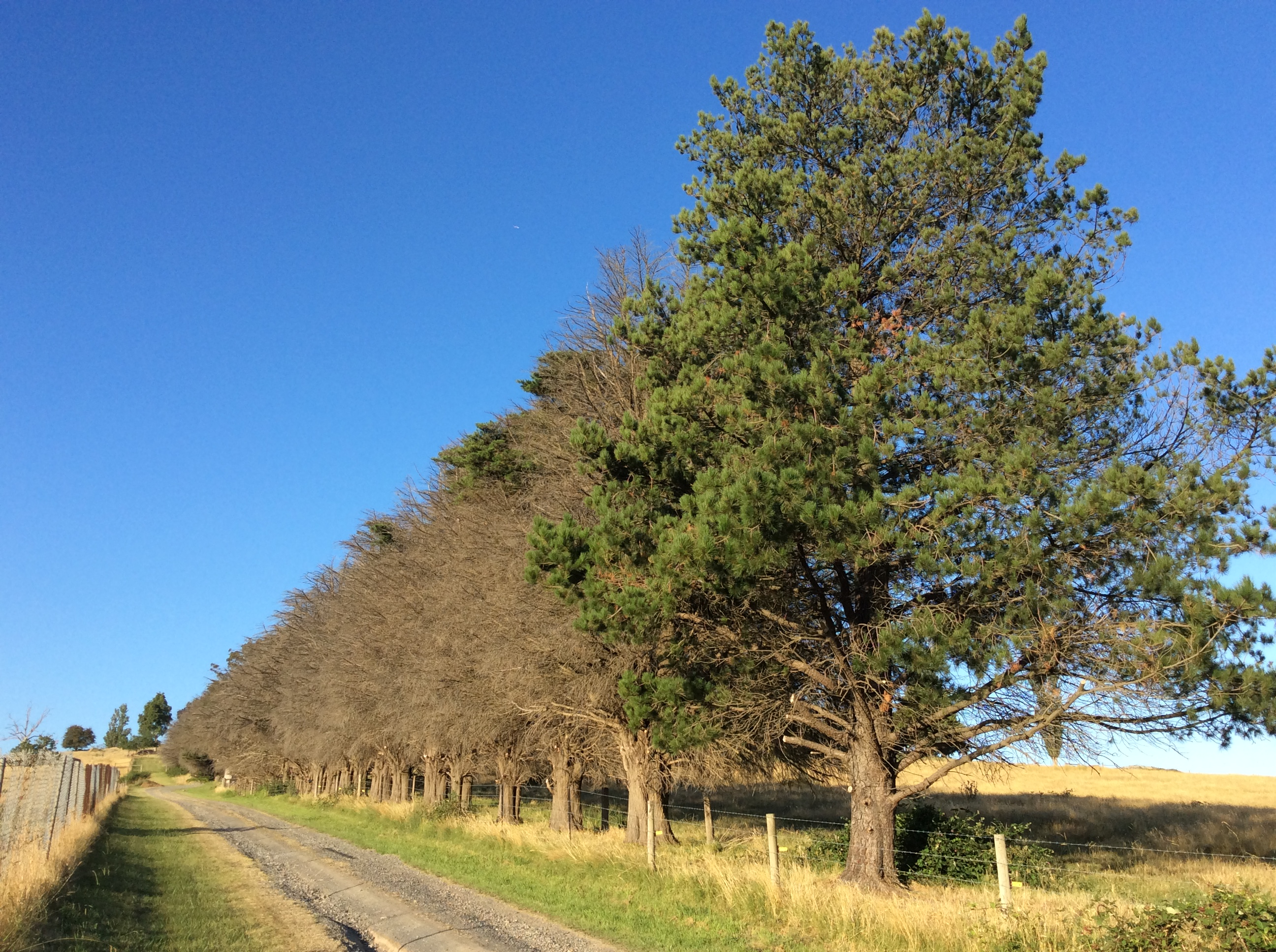 70 dying cypress in one windbreak