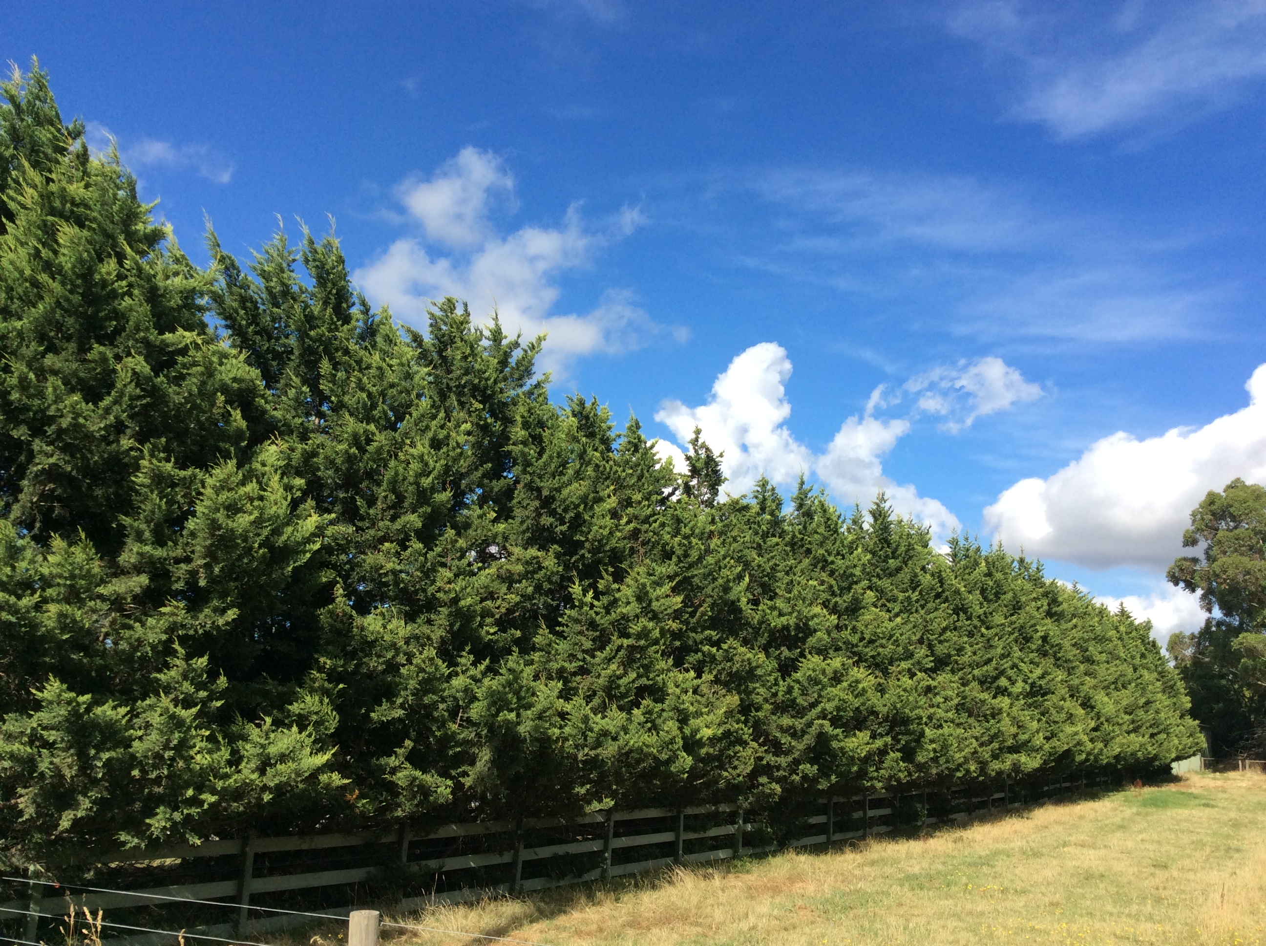 Healthy cypress hedge in Beaconsfield